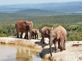 Elefantengruppe in Südafrika